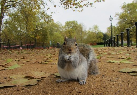 grey squirrel outside imperial